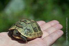 Turtle: Olympos, Turkey (Bernhard Hopke) Tags: holiday turkey geotagged holidays hand turtle urlaub trkiye tur trkei antalya turtles tr olympos schildkrte schildkrten olimpos kumluca