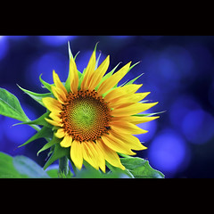Welcome Spring [ EXPLORED ] (-clicking-) Tags: lighting blue light flower macro green nature floral beautiful beauty yellow closeup garden petals spring nice flora pretty dof natural blossom bokeh vibrant ngc vivid stamens vietnam sunflower bloom lovely springtime blooming vibrance springgarden pistils colorphotoaward hoahngdng saariysqualitypictures bngmttri vietnameseflowers