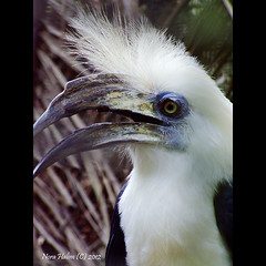 White-crowned hornbill (nora2810) Tags: white colour bird nature animal fugl hornbill aceroscomatus whitecrownedhornbill fujifilmfinepixs9500