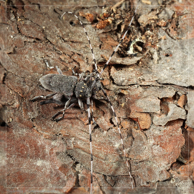 Timberman Beetle (Acanthocinus aedilis). Mated Pair.