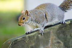 Squirrel (MMphotographyLondon) Tags: cute london eye cemetery grave animal squirrel little sweet small nuts cuddles brompton micio scoiattolo