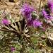 Scarce Swallowtail. Iphiclides podalirius feisthameli. First brood female