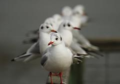 gull bokeh [Explored] (bojangles_1953) Tags: bird canon photo image bokeh gull fairburn blackheadedgulls