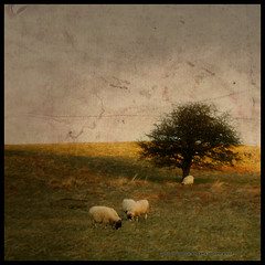 shaun the sheep (seve) Tags: old england tree grass canon landscape 350d scenery imac sheep flock cumbria canon350d grazing textured knott farleton stevegregory 180550mm borderfx applecrypt flickrstruereflection1 wwwflickrcomphotosapplecrypt
