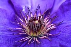 Purple flower (Marcello Bardi) Tags: flower clematis amazingdetails ringexcellence flickrstruereflection1