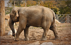 FEMALE ASIAN ELEPHANT (Shaun's Wildlife Images....) Tags: zoo chester elephants shaund
