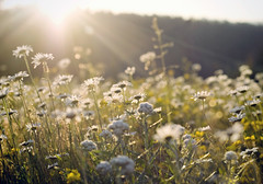 all the violent, sweet perfect words that you said (manyfires) Tags: flowers sunset sun field daisies landscape golden washington warmth flare daisy pacificnorthwest wildflowers higher mtsthelens sugarland
