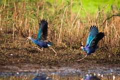 Glamour Show ([www.farhanahaque.com]) Tags: blue reflection bird water fly flying wings purple migratory migration sylhet bangladesh purpleswamphen porphyrioporphyrio haor purplegallinule migratorybirds sunamganj tanguar tanguarhaor