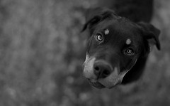 Titch. (AdamJackson) Tags: bw dog cute puppy eyes adorable doberman curious lovely rottweiller
