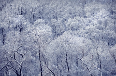 Snow Trees - West Harrison, NY (Bill.Winters) Tags: winter snow ny newyork bill blizzard winters 2010 westchester billwinters photography4web