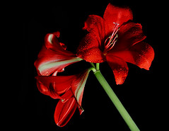 the last Christmas Lilly of the year (rob stalnaker) Tags: red hot flower green crimson shoot blossom head cluster inspired vine spray lilly bloom spike bud herb pedal perennial posy ablaze pompon ruddy easterlilly floweret floret efflorescence pedalpower annal strobist rutilant christmaslilly inflorenscence robstalnaker musictomyeyeslevel1