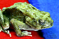 """missing her =""""( (~   ~) Tags: blue red pet macro green amphibian frog arabic toad"""