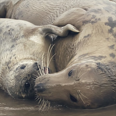 muddy cuddles (Black Cat Photos) Tags: uk sea england baby cute beach nature wet canon blackcat photography photo movement hug europe action wildlife performance move m whiskers mum seal perform pup cuddles muddy greyseal donnanook blackcatphotos