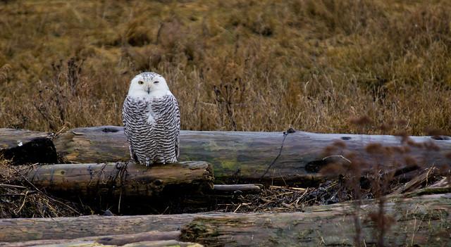 SNOWY OWL-18