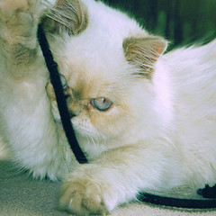 Ruby (jjamv) Tags: pet cats flower cat persian spring furry kitten feline pussy adorable kitty fluffy tulip ruby springtime pedigree longhairedcat jjamv mycatruby rubyuk2000 julesvtravel