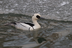Drake Smew - A pair of Smew is wintering on a small ice free pond in Onuma this winter.......