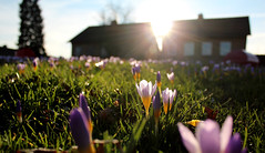 (Evelien Gerrits) Tags: sun house flower green grass yellow spring groen purple crocus gras huis lente geel zon sunbeam krokus paars bloem zonnestraal floralfantasy