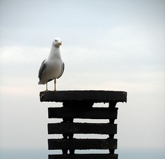gabbianella in posa (fotomie2009 OFF) Tags: chimney bird animal mediterraneo comignolo seagull gabbiano reale uccello larus zampe larusmichahellis michahellis gialle gabbianoreale gabbianorealezampegialle zampegialle
