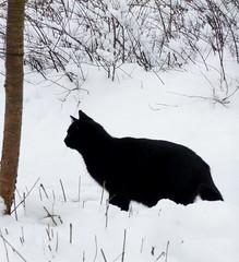 Dunkel's First Snow (Sigrid de Vries - Frensen) Tags: winter snow black cat noir dunkel