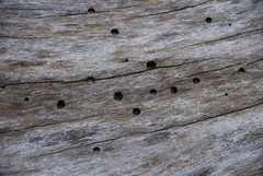 "Pockmarked driftwood • <a style=""font-size:0.8em;"" href=""http://www.flickr.com/photos/75865141@N03/6814807361/"" target=""_blank"">View on Flickr</a>"