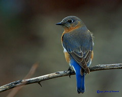 _Eastern Bluebird backside F 7489 (Norm Townsend) Tags: bird oklahoma nature birds backyard pentax bigma wildlife gimp sigma tulsa easternbluebird sialiasialis greencountry k10d gmic creekcounty sigmaapo50500f463