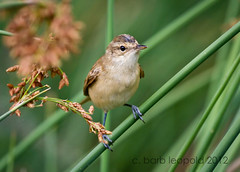 #1894 (Barbiejay2) Tags: bird wetlands brownbird reedwarbler australianreedwarbler laratinga mtbarker barbleopold abcopen:project=upclose