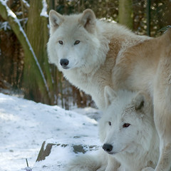 Siblings (steppeland) Tags: brown white snow nature animals wolf arctic polar wolves canines rememberthatmomentlevel4 rememberthatmomentlevel1 rememberthatmomentlevel2 rememberthatmomentlevel3 rememberthatmomentlevel7 rememberthatmomentlevel5 rememberthatmomentlevel6