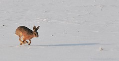 """Towards the unknown region..."" (nikkorglass) Tags: winter snow rabbit home colors garden fur vinter nikon hare sweden sunny sverige february nikkor waltwhitman sn 70200 f28 2012 hemma trdgrd februari 70200mm frger d300 soligt ralphvaughanwilliams pls nikkorglass towardstheunknownregion"