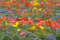 Les couleurs du printemps (Philippe POUVREAU) Tags: flower fleur garden spring jardin bretagne printemps vannes pavot 2014
