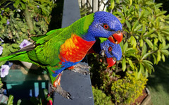 Saturday Morning Lorokeets (nzboyinoz) Tags: colour nature birds feeding wildlife australia explore queensland lorikeets naturesfinest justinrvickersgmailcom