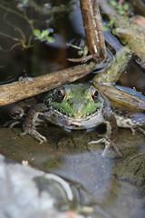 Frog (historygradguy (jobhunting)) Tags: ny newyork animal amphibian upstate frog easton washingtoncounty