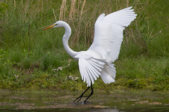 great egret 5-15-2016-59 (Scott Alan McClurg) Tags: life wild sun white bird nature animal fly flying back spring pond backyard flickr glow wildlife flight neighborhood landing ardea wetlands land algae gliding greategret naturephotography glide ardeidae aalba
