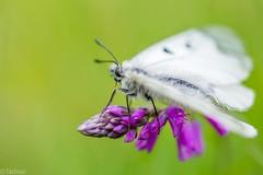 on a dry grassland (Tschissl) Tags: butterfly austria tiere sterreich krnten location mai insekten schmetterlinge pfingsten