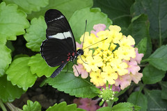 Butterfly 2016-35 (michaelramsdell1967) Tags: flowers light red plant black flower color macro green love nature beautiful beauty yellow closeup butterfly garden insect photography hope photo spring nikon natural cincinnati butterflies insects upclose