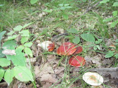 IMG_1757 (erindd4) Tags: red white green grass leaves mushrooms sticks woods