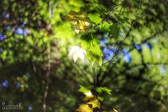 Leaves in backlight (koaysusan) Tags: light nature leaves backlight bokeh outdoor depthoffield