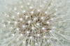 Sparkles (warth man) Tags: light plant dandelion seedhead nikon70300mmvr d7000 naturessparkles
