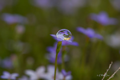 Trapped in a Small World (G Michael Lewis) Tags: blue macro reflection green nature water spring waterdrop simplicity droplet wildflower tinybluet