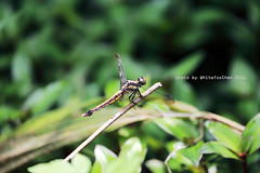 Dragonfly (Whitefox Chen) Tags: canon dragonfly taiwan   keelung  6d  canon70300mm
