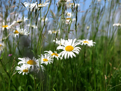 On the side of the road (pienw) Tags: flowers grass margriet