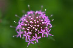DSC_0169.NEF (tibal26) Tags: flower closeup natural x10