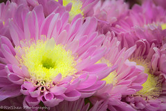 Simplified Flowers.jpg (RWShea Photography) Tags: flowers mums helicon