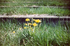 (pop archaeologist) Tags: film grass canon kodak michigan seats amphitheater flint dandelions expiredfilm 28105 riverbankpark gold200 eosa2e