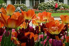 Colours (Pivi ) Tags: park flowers oslo norway colours tulip townhall rdhus