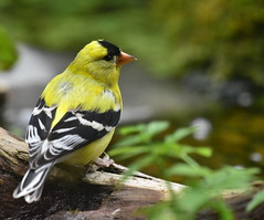 Sticking around (delphinusorca) Tags: goldfinch finch nikon200500f56 backyardwilddlife