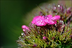 Pink flower (franciska_bosnjak) Tags: pink plant flower macro nature drops nikon outdoor waterdrops d3100