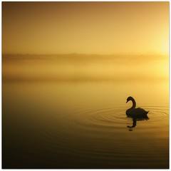 ((((((<0)   )))))))) (Samantha Nicol Art Photography) Tags: morning mist bird water silhouette yellow fog square scotland swan nikon ripples loch samantha gloaming nicol