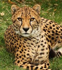 Cheetah8806 (heyrod) Tags: detail animals texas cheetah mammals bigcats topaz fortworthzoo canon70200mmf4lusm canoneos60d flickrbigcats
