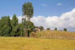 Farmstead, Zigora, Ethiopia, 2011 (larkvi) Tags: africa sky clouds farm eucalyptus ethiopia maize winslow farmstead iste tef amhara teff larkvi seanwinslow larkvicom wwwlarkvicom mekaneeyesus southgonder zigora