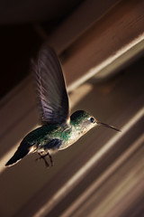Hummingbird (Dar.shelle) Tags: light green bird window nature colors canon fly wings hummingbird purple zoom details stevens feathers 7d darshelle